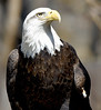 This photo of a live eagle was taken at the Tracy Aviary. 