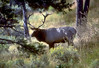 Bull elk in a forest.  Photo taken 10-10-07 by Utah Division of Wildlife Resources.